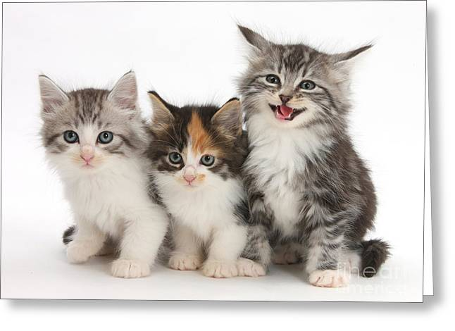Cats Show Greeting Cards - Kittens Greeting Card by Mark Taylor