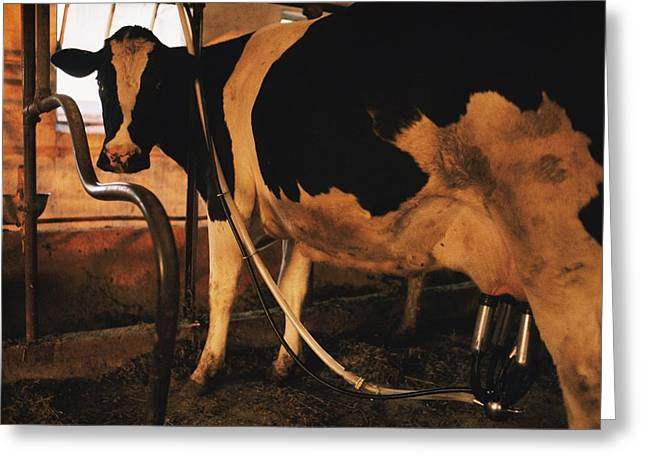 Dairy Farmers And Farming Greeting Cards - Untitled Greeting Card by Dick Durrance Ii