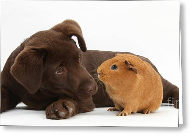 Chocolate Lab Greeting Cards - Puppy And Guinea Pig Greeting Card by Mark Taylor