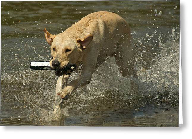 Dog Swimming Greeting Cards - Yellow Labrador Greeting Card by Steven Lapkin