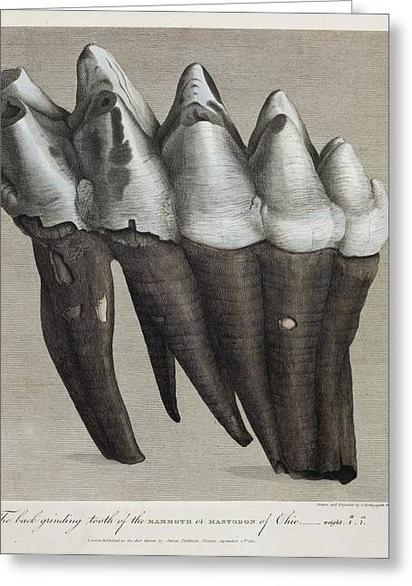1811 Greeting Cards - 1811 Parkinson Mammoth Mastodon Tooth Greeting Card by Paul D Stewart