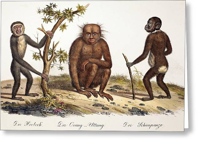 Ancestors Greeting Cards - 1824 Schinz Apes, Gibbon, Orang, Chimp Greeting Card by Paul D Stewart