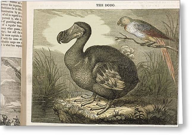 Raphus Cucullatus Greeting Cards - 1833 Fat Dodo From The Penny Magazine Greeting Card by Paul D Stewart