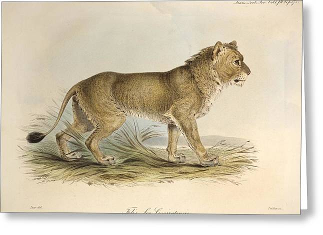 Lion Illustrations Greeting Cards - 1835 Maneless Indian Lion By Edward Lear Greeting Card by Paul D Stewart