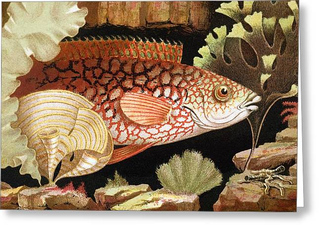 Anenome Greeting Cards - 1854 Philip Gosse Colour Litho Of Wrasse Greeting Card by Paul D Stewart