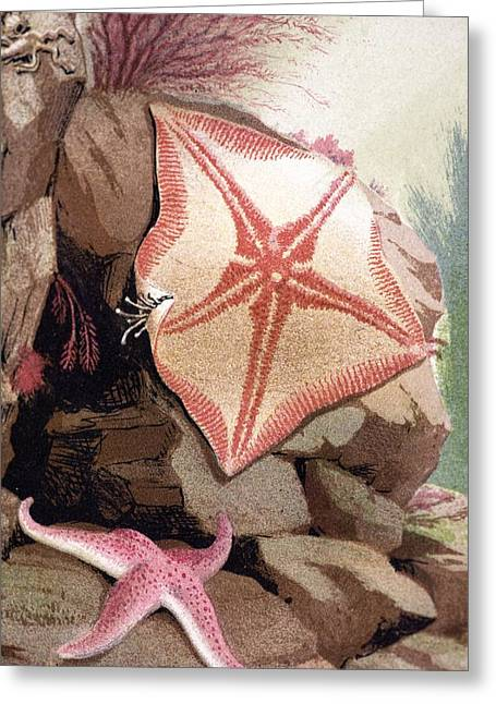 Anenome Greeting Cards - 1854 Philip Gosse Colour Litho Starfish Greeting Card by Paul D Stewart