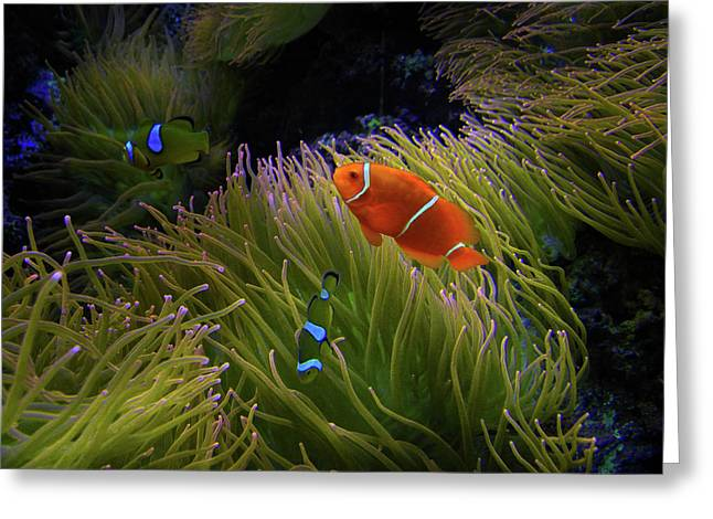 Clown Fish Greeting Cards - 1869 Greeting Card by Peter Holme III
