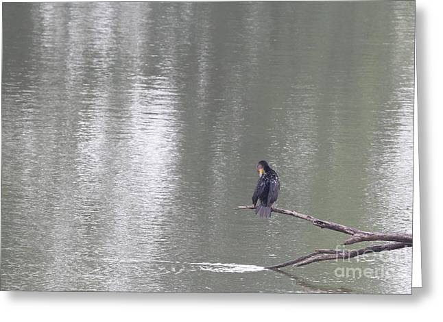 Double-crested Cormorant Greeting Card by Jack R Brock