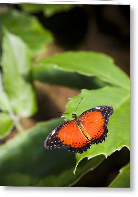 Color Focus Greeting Cards - A Butterfly Rests On A Leaf Greeting Card by Taylor S. Kennedy
