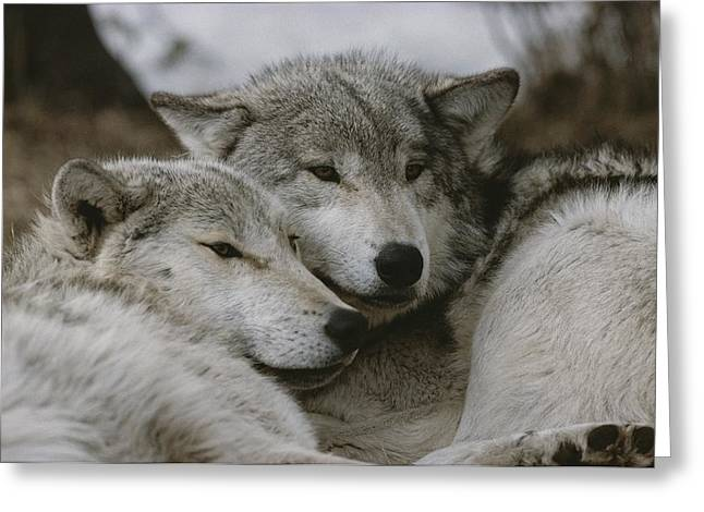Bask Greeting Cards - A Couple Of Gray Wolves, Canis Lupus Greeting Card by Jim And Jamie Dutcher