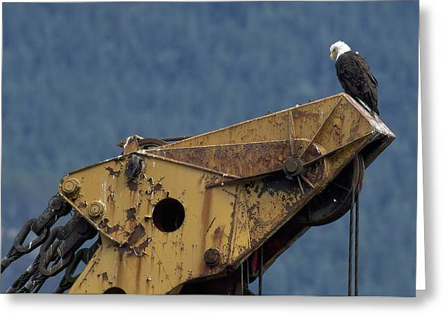 Hardware Greeting Cards - A Northern American Bald Eagle Greeting Card by Norbert Rosing