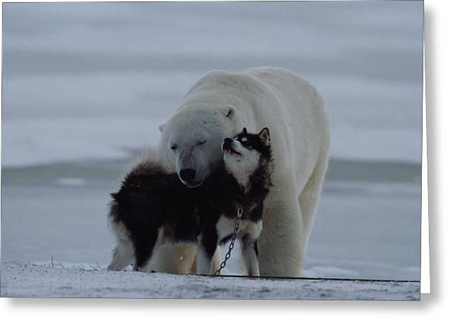 Husky Greeting Cards - A Polar Bear Ursus Maritimus Greeting Card by Norbert Rosing