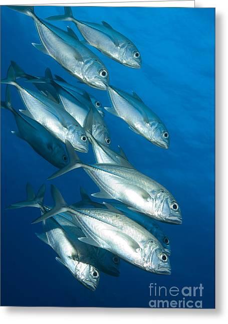 New Britain Greeting Cards - A School Of Bigeye Trevally, Papua New Greeting Card by Steve Jones