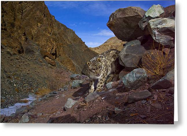 Remote Cameras Greeting Cards - A Snow Leopard Signals Its Presence Greeting Card by Steve Winter