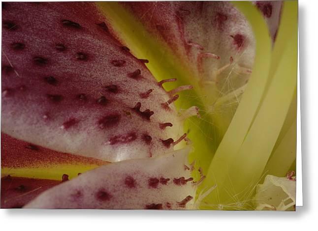Lilium Stargazer Lily Greeting Cards - A Stargazer Lily Lilium Orientalis Greeting Card by Joel Sartore