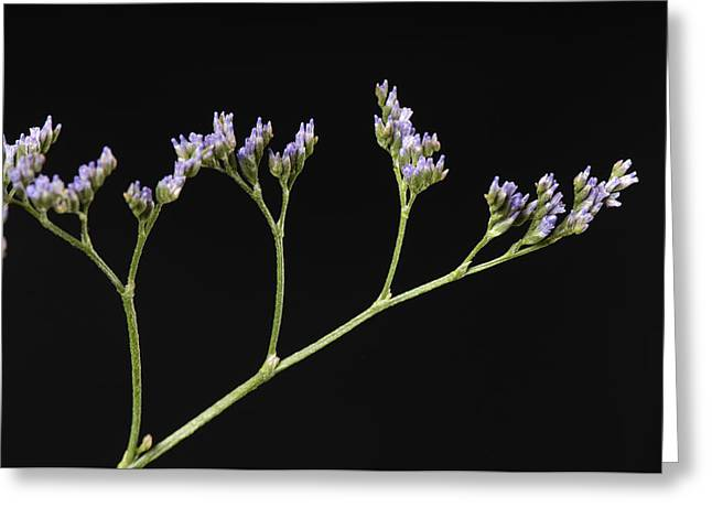 Limonium Greeting Cards - A Statice Limonium Sinuatum Greeting Card by Joel Sartore