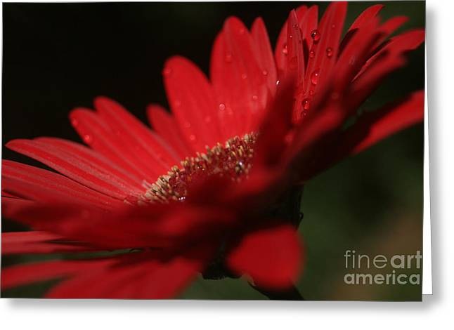 Barberton Daisy Greeting Cards - A Vision of Beauty Greeting Card by Sharon Mau