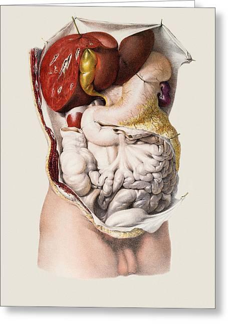 Historical Images Greeting Cards - Abdominal Organs Greeting Card by Mehau Kulyk