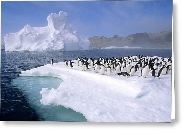 Spheniscidae Greeting Cards - Adelie Penguin Pygoscelis Adeliae Group Greeting Card by Tui De Roy