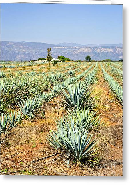 Cultivation Greeting Cards - Agave cactus field in Mexico Greeting Card by Elena Elisseeva