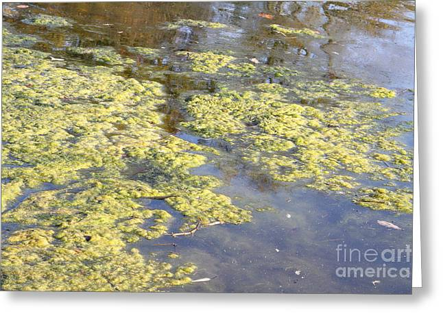 Alga Greeting Cards - Algae Bloom In A Pond Greeting Card by Photo Researchers, Inc.