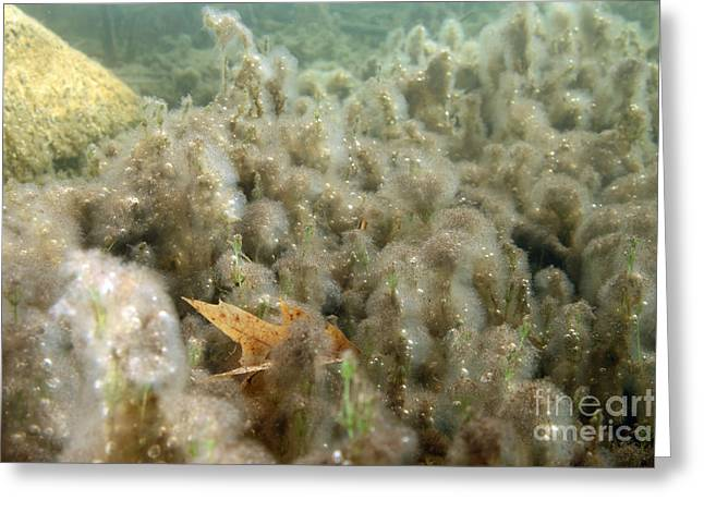 Algae In A Frozen Pond Greeting Card by Ted Kinsman