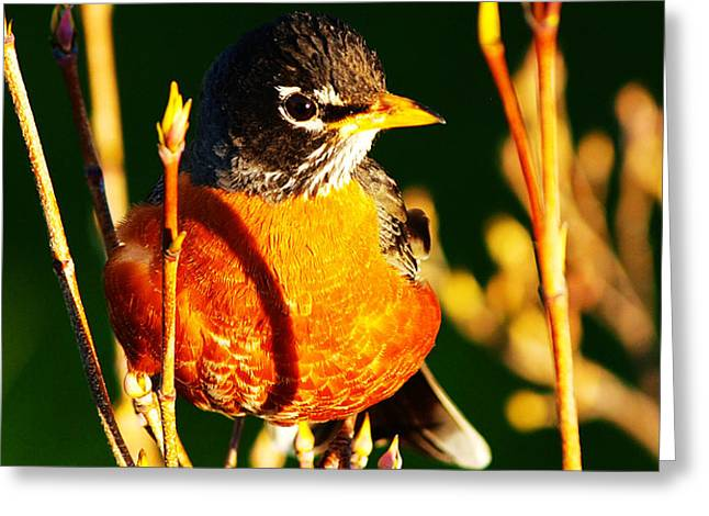 American Robin Greeting Card by Paul Ge