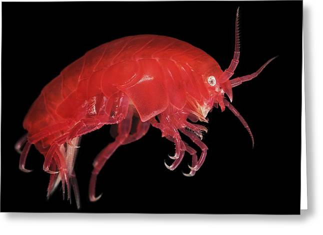 Zooplankton Greeting Cards - Amphipod Crustacean Greeting Card by Alexander Semenov