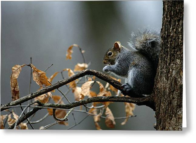 Eastern Gray Squirrels Greeting Cards - An Eastern Gray Squirrel Sciurus Greeting Card by Chris Johns