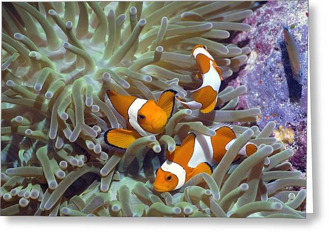 3 Fish Greeting Cards - Anemonefish In Anemone Greeting Card by Georgette Douwma