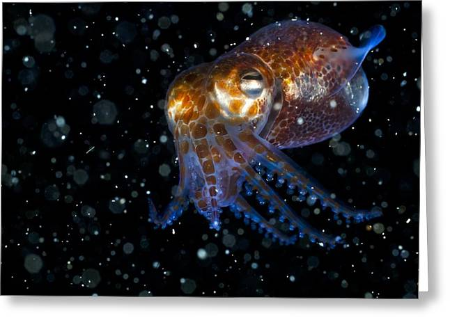 Bobtails Greeting Cards - Atlantic Bobtail Squid Greeting Card by Angel Fitor