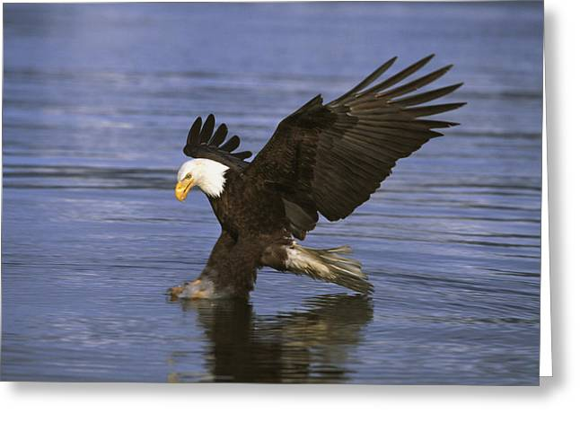 Blue Claws Greeting Cards - Bald Eagle Greeting Card by John Hyde - Printscapes