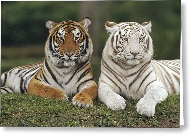 Tigris Greeting Cards - Bengal Tiger Team Greeting Card by Konrad Wothe