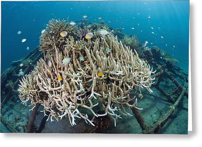 Rehabilitation Greeting Cards - Biorock Reef Restoration, Indonesia Greeting Card by Matthew Oldfield