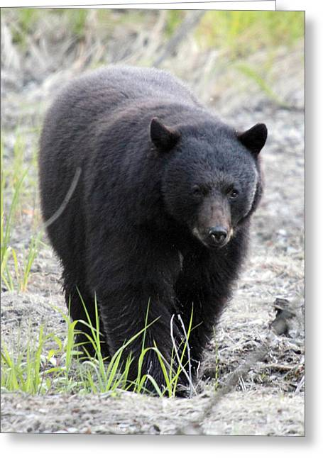 Mile One Greeting Cards - Black Bear at One Mile Lake Pemberton Greeting Card by Pierre Leclerc Photography
