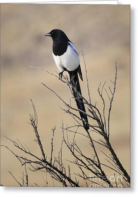 Black-billed Magpie Greeting Cards - Black-billed Magpie Greeting Card by Dennis Hammer