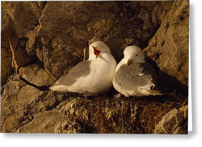 Black-legged Kittiwake Gulls Nest On An Greeting Card by Gordon Wiltsie