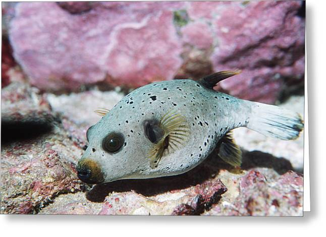 Pufferfish Greeting Cards - Blackspotted Pufferfish Greeting Card by Georgette Douwma