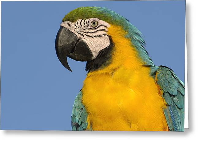 Macaw Profile Greeting Cards - Blue And Yellow Macaw Ara Ararauna Greeting Card by Pete Oxford