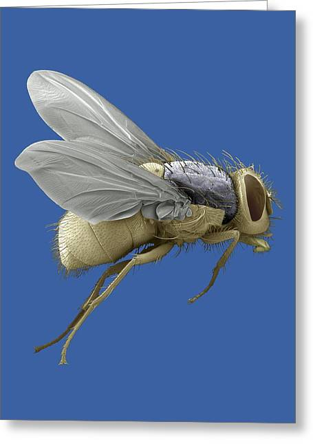 Scanning Electron Micrograph Greeting Cards - Bluebottle Fly, Sem Greeting Card by Steve Gschmeissner
