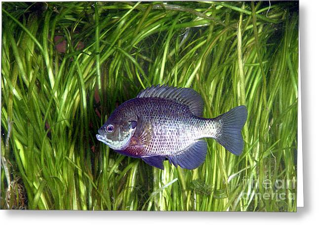 Bluegill Greeting Cards - Bluegill Lepomis Macrochirus Greeting Card by Ted Kinsman