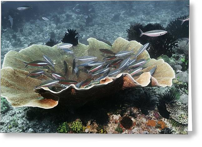Fusilier Fish Greeting Cards - Bluestreak Fusiliers Greeting Card by Georgette Douwma