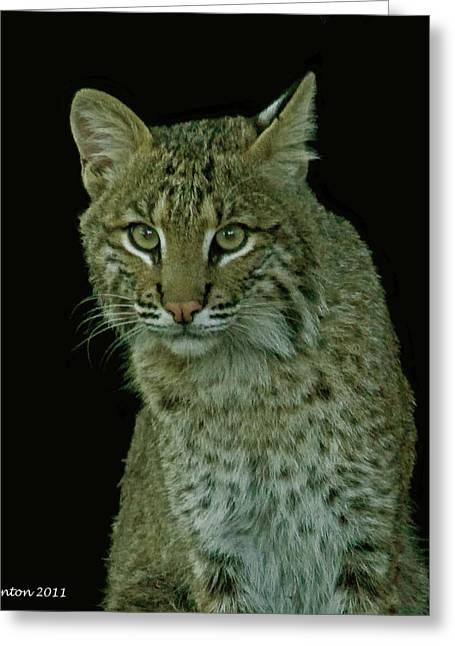 Bobcat Photographs Greeting Cards - Bobcat Greeting Card by Larry Linton