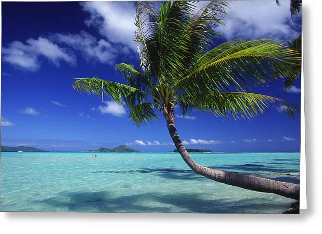 Location Art Greeting Cards - Bora Bora, Palm Tree Greeting Card by Ron Dahlquist - Printscapes