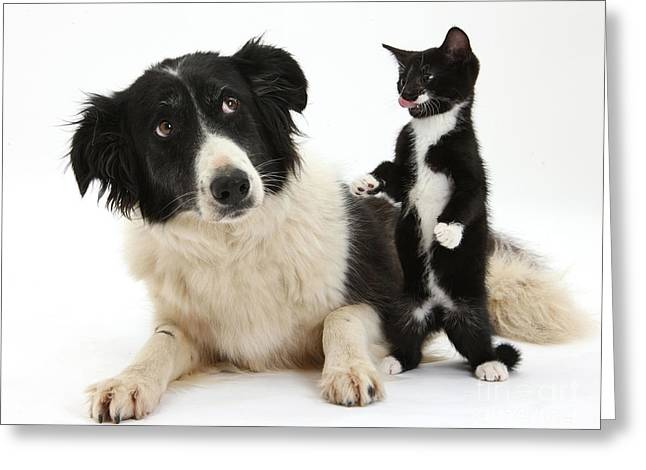 Tuxedo Greeting Cards - Border Collie And Tuxedo Kitten Greeting Card by Mark Taylor