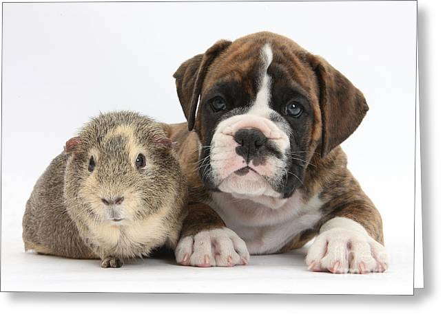 Boxer Greeting Cards - Boxer Puppy And Guinea Pig Greeting Card by Mark Taylor
