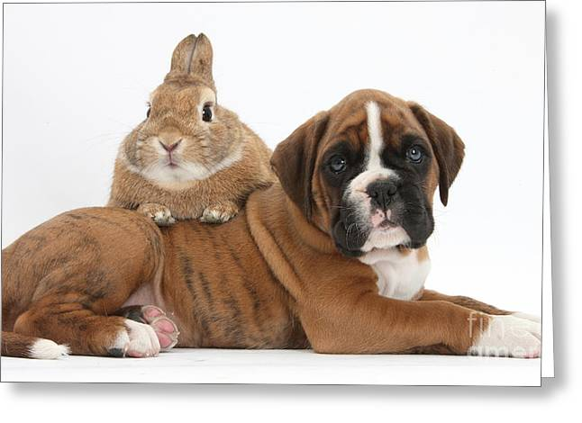 Boxer Greeting Cards - Boxer Puppy And Netherland-cross Rabbit Greeting Card by Mark Taylor