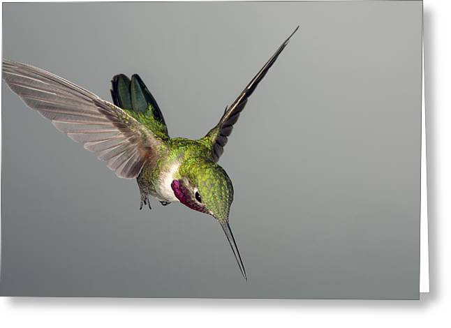 Hovering Greeting Cards - Broadtail Hummingbird Greeting Card by Gregory Scott