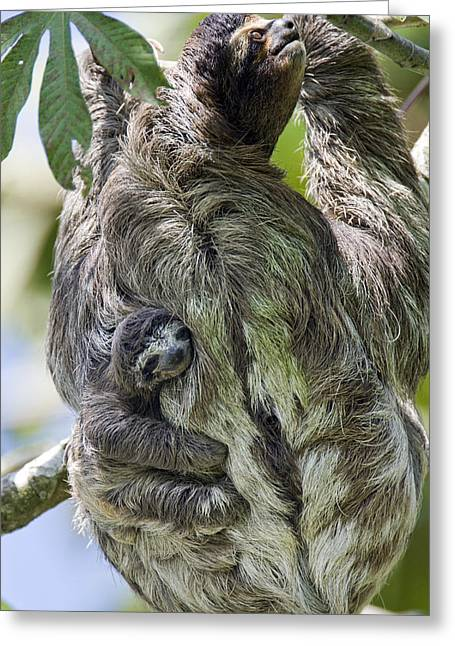 Three-toed Sloth Greeting Cards - Brown-throated Three-toed Sloth Greeting Card by Suzi Eszterhas