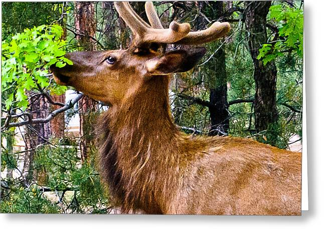 Browsing Elk In The Grand Canyon Greeting Card by Bob and Nadine Johnston
